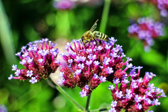 Picture of bee feeding on Verbena bonariensis