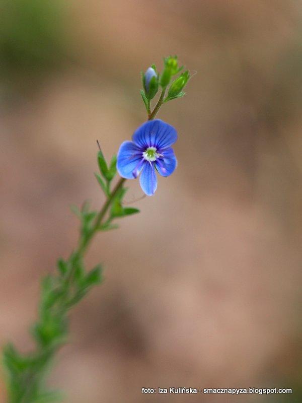 niebieskie kwiatki, lesny, kwiatuszki, las, kwiatek, blekit