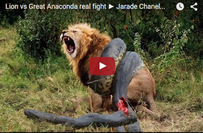 http://5five-star.blogspot.in/2015/12/anaconda-atteck-on-lion-see-and-share.html