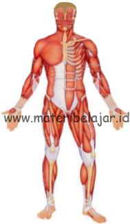 Gambar Otot Pada Manusia : gambar, manusia, Pengertian,, Fungsi, Jenis, Serta, Kerja, Materi, Belajar