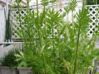 バレリアン(西洋鹿子草)の茎