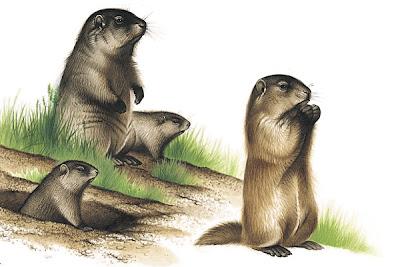 marmota americana Marmota monax