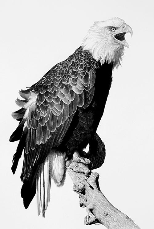 08-Pride-Bald-Eagle-William-Bill-Harrison-Majestic-Wildlife-Carbon-Pencil-Drawings-www-designstack-co