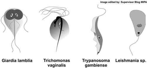 Protozoa (protista mirip hewan), Kelas Flagellata (Filum Mastigophora), zooflagellata
