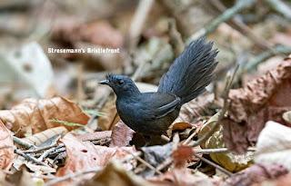 Burung terlangka di dunia , Stresemann's Bristlefronts.