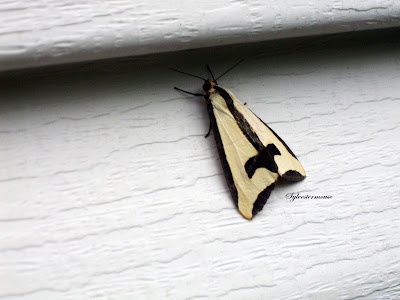 moth with a black cross on back
