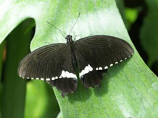 Papilio polytes - Voilier mormon