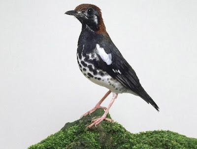 Gambar Jenis - Jenis Burung Anis Kembang Dan Penjelasannya.
