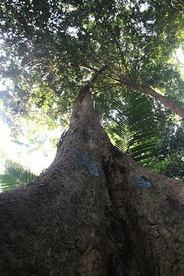 Pohon Nibung di Tanjung Datu