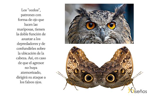 Ocelos,mariposa