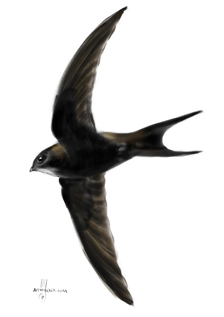 Swift bird painting by Artmagenta