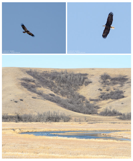 Bald Eagles in the Qu'Appelle Valley, © Shelley Banks, all rights reserved