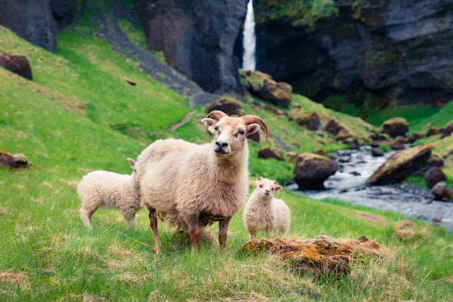 Mountain goats and sheep can be found during the Réttir