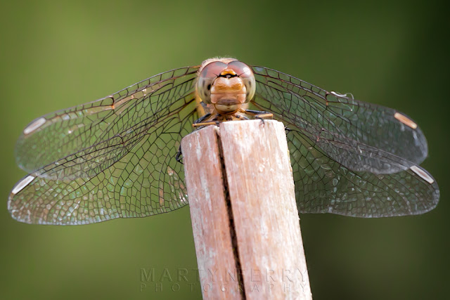 Macro photography of a female common darter dragonfly at Ouse Fens Nature Reserve