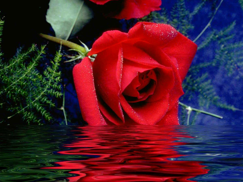 Pictures world beautiful red rose wallpaper 1024 768 - Beautiful red roses wallpapers desktop ...