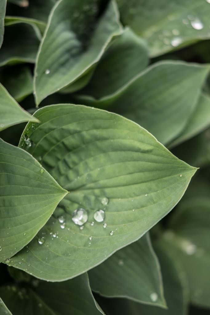 www.fim.works | Lifestyle-Blog | Funkie, Hosta, Gartenpflanze, Staudenpflanze, Schattengewächs