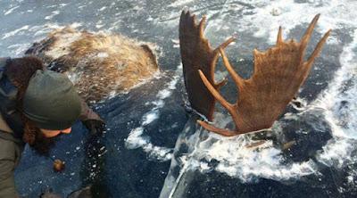 Ελάφια πάγωσαν ενώ πάλευαν σε ποταμό της Αλάσκα!