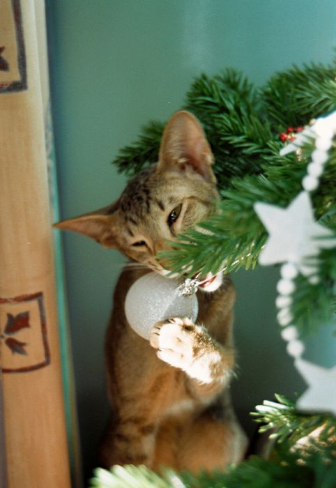 Funny Image Collection Very Funny Christmas Cat Pictures