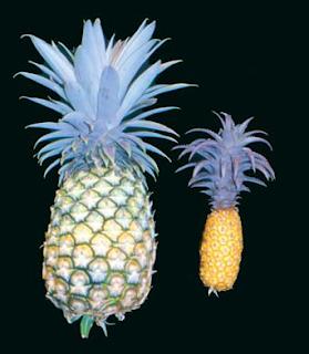 dos generos de piña, ananas comosus y ananassoides