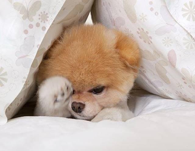 Dog Wallpaper Boo World S Cutest Dog Widescreen Wallpaper