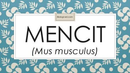 Mencit memiliki nama ilmiah mus musculus