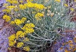 Fiori Gialli Macchia Mediterranea.Erbe Aromatiche Officinali Elicriso Proprieta Colore Profumo