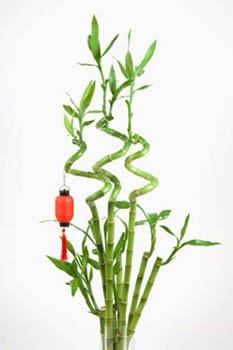 lord flores bambu da sorte. Black Bedroom Furniture Sets. Home Design Ideas