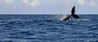 Baleine à Playa Frontón