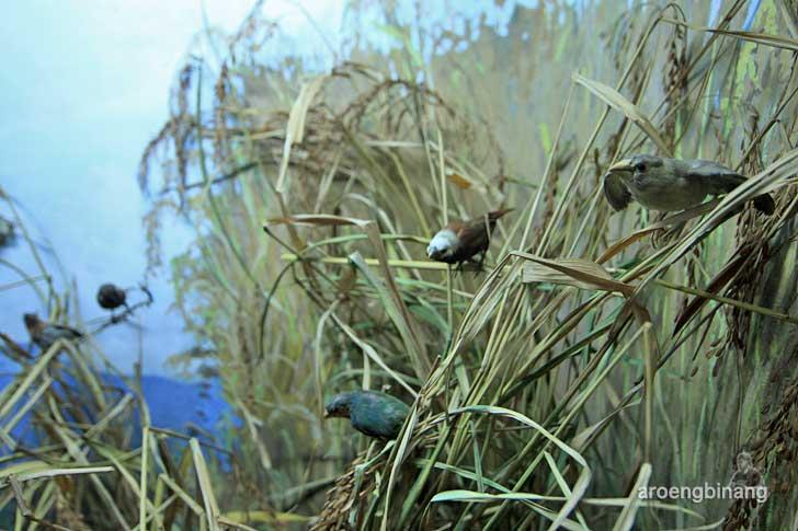 burung pipit museum zoologi bogor