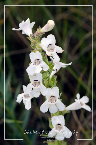 White Beardtongue, Grasslands National Park. Copyright © Shelley Banks, all rights reserved