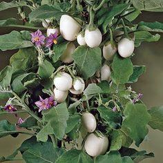 Solanum ovigerum, seus frutos permanecem imaturos por cerca de um mês, período em que se parece com ovo. Quando maduros, ficam amarelos, assemelhantes ao jiló, mas não são comestíveis.  Depois que caem seus frutos, a planta não mais os produz. É preciso retirar as sementes e fazer novas mudas.