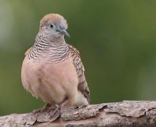 Racikan Jamu Tradisional Burung Perkutut Supaya Bisa Rajin Manggung Dan Cepat Gacor Setiap Hari