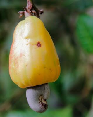 noix de cajou kerala