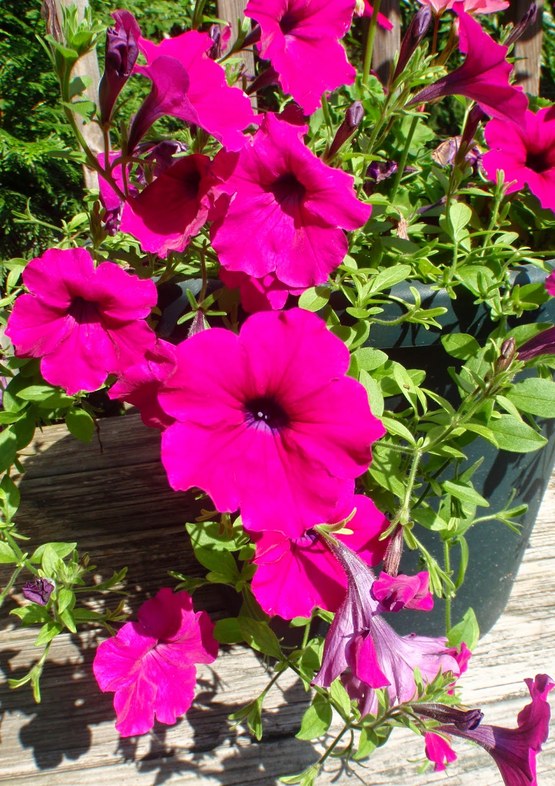 purple wave petunias