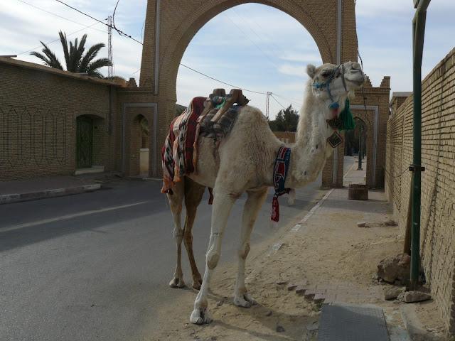Camello en Tozeur