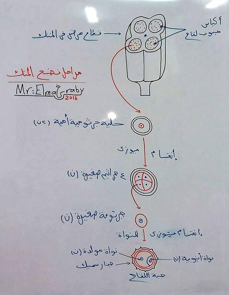 """رسم توضيحي جميل لكل من """"تركيب العضلة الهيكلية - مراحل نضج المتك - تشريح العقدة الليمفاوية"""" 002"""