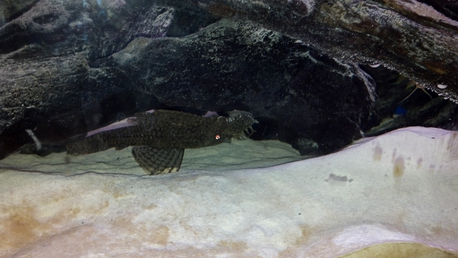 Biggest Pleco