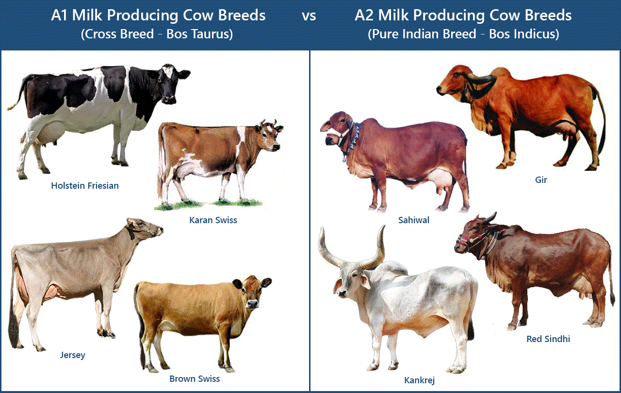 Cow S Milk Wholesome Food Improves Sathva Guna
