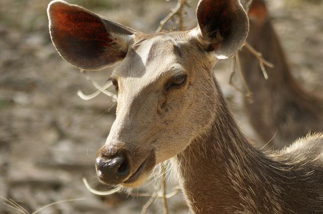 Deer spoted at Ranathambore National Park