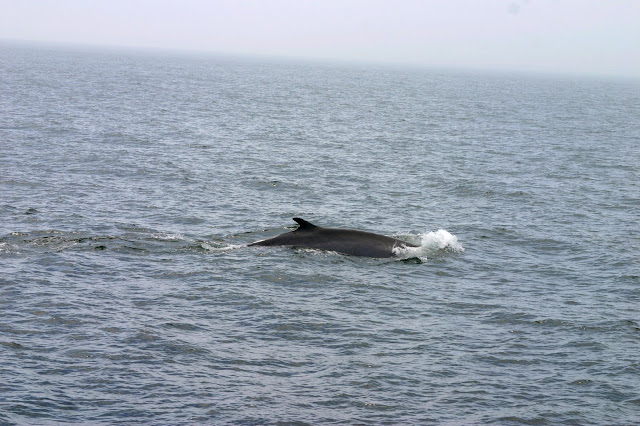 hyannis whale watching cruises
