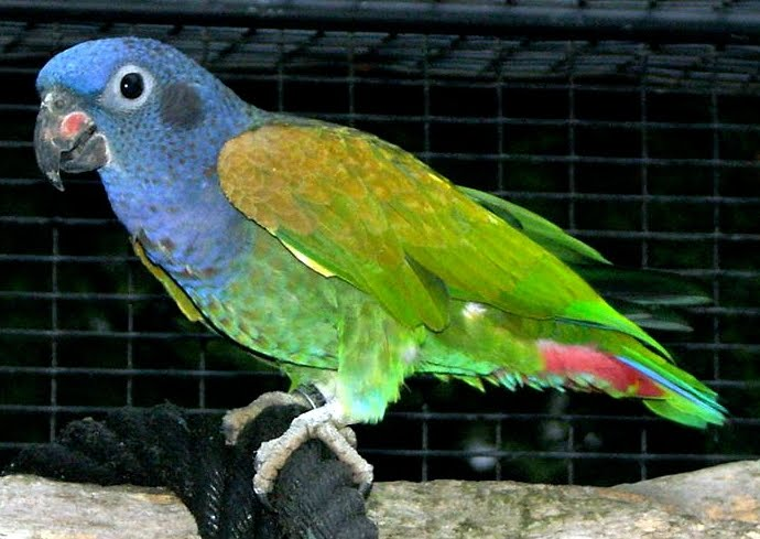 Zoológico Virtual do Brasil! Seu Safari Virtual!: Curica-de-cabeça-azul