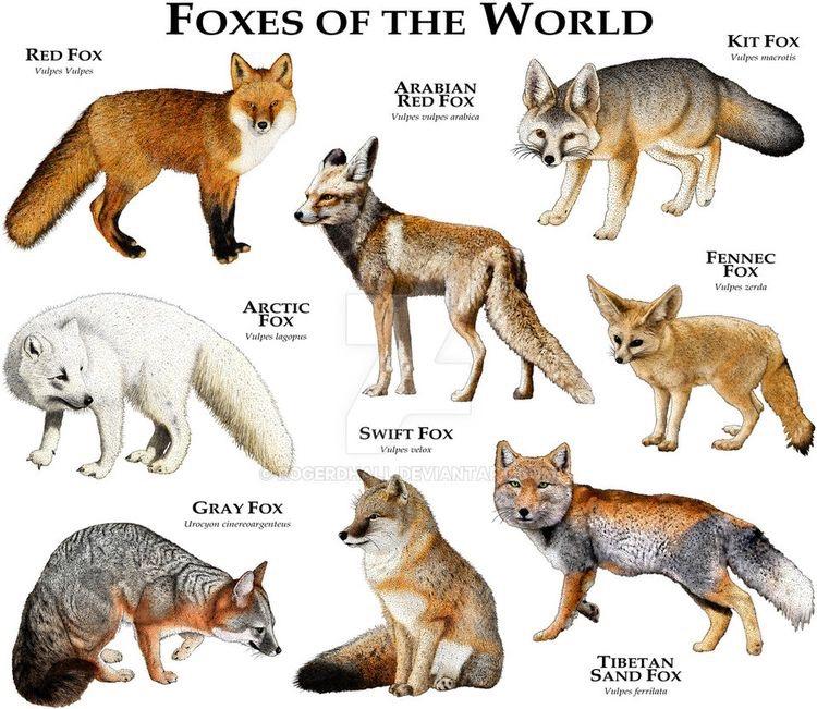 Raposas do Mundo | Foxes