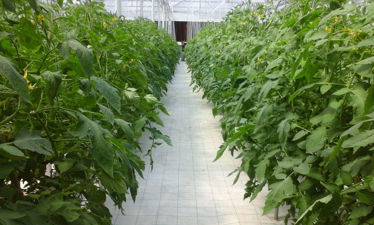 Jasa Pembuatan Greenhouse Konvensional Dan Automasi Sistem