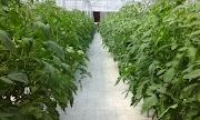 Jasa Pembuatan Greenhouse Konvensional dan Automasi Sistem Hidroponik