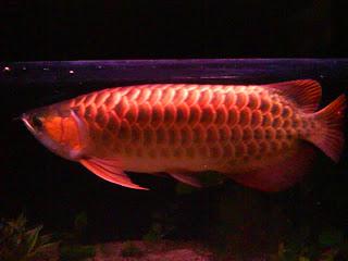 jenis ikan super red arwana