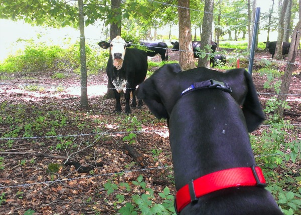 Great Dane vs Cow