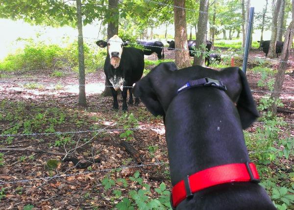 Great Dane vs Cow
