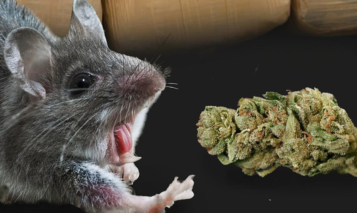 Police Claim That Mice Ate A Whopping Half A Ton Of 'Missing' Weed