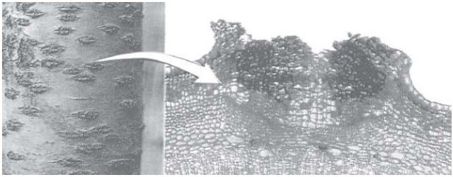 Lentisel pada Batang