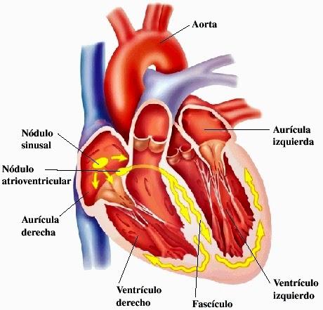 Fibra miocardial, características y diferencias con la fibra esquelética